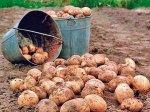 Хозяйства Искитимского района предлагают землю для посадки картофеля