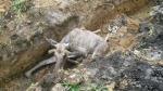 Не удалось спасти жизнь лосенка, вытащенного из траншеи возле НЗИВа