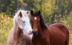 Украденных лошадей увезли на Ниссане