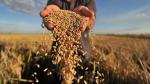 Новосибирская область собрала рекордный за последние семь лет урожай зерна