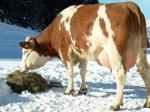 В Искитимском районе растет продуктивность молочного стада