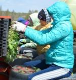 Неблагоприятные погодные условия сбили все планы  овощеводам.