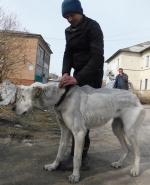 Искитимцы спасают среднеазиатскую овчарку, ставшую жертвой человеческой жестокости