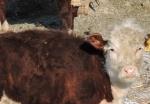 Запретить заниматься животноводством в селе Искитимского района пытается владелец дома из села Морозово